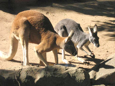 Red Kangaroo at Taronga zoo
